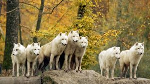 Autumn Forest Animals Wildlife Wolf Arctic Canadian