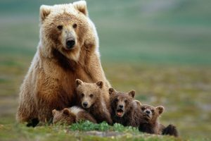 Bear Mother With Babies