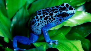 Blue Frog On A Green Leafs