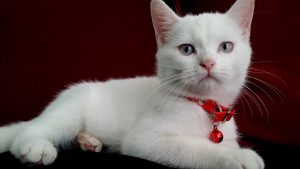 Christmas Blue Eyed White Cat