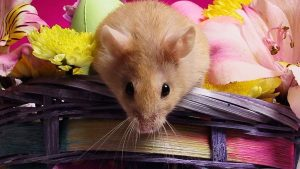 Flores Hamster