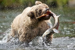 Grizzly Bears Catching Salmon Bear Hunting For Fish