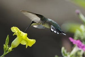 Hummingbird And Yellow Flower