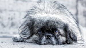 Pekingese Dog Black And White