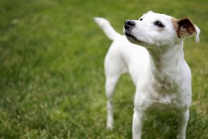 Russell Terrier Dog