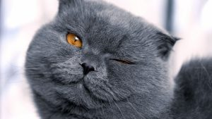 Scottish Fold Cat With Gray Eyes