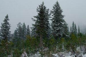 Shortleaf Black Spruce
