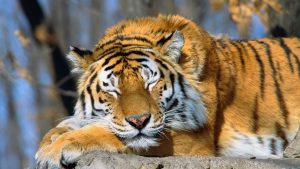 Siberian Tiger Sleeping