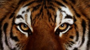 Tiger Eyes Close Up