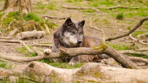 Wolf In Nature