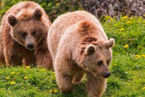 Two Brown Bears In Nature
