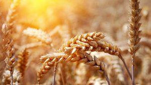 Wheat Close Up Nature